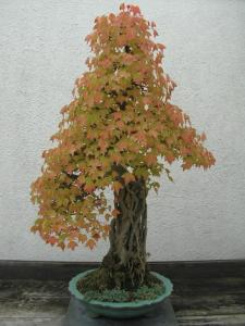 autumn_bonsai