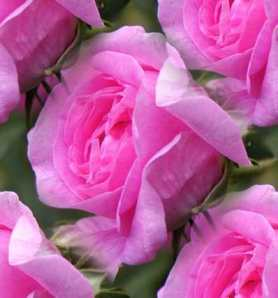 rose-pink-tile1